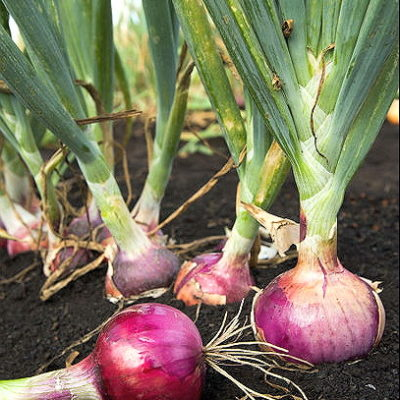 Onion Red Creole