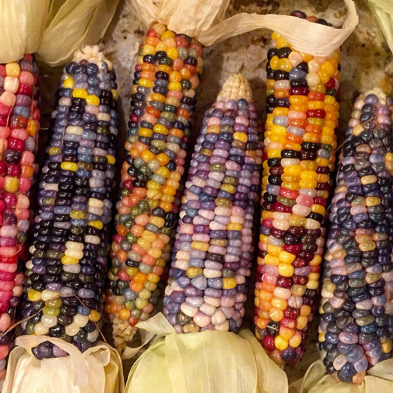Corn Glass Gem Seeds For Generations
