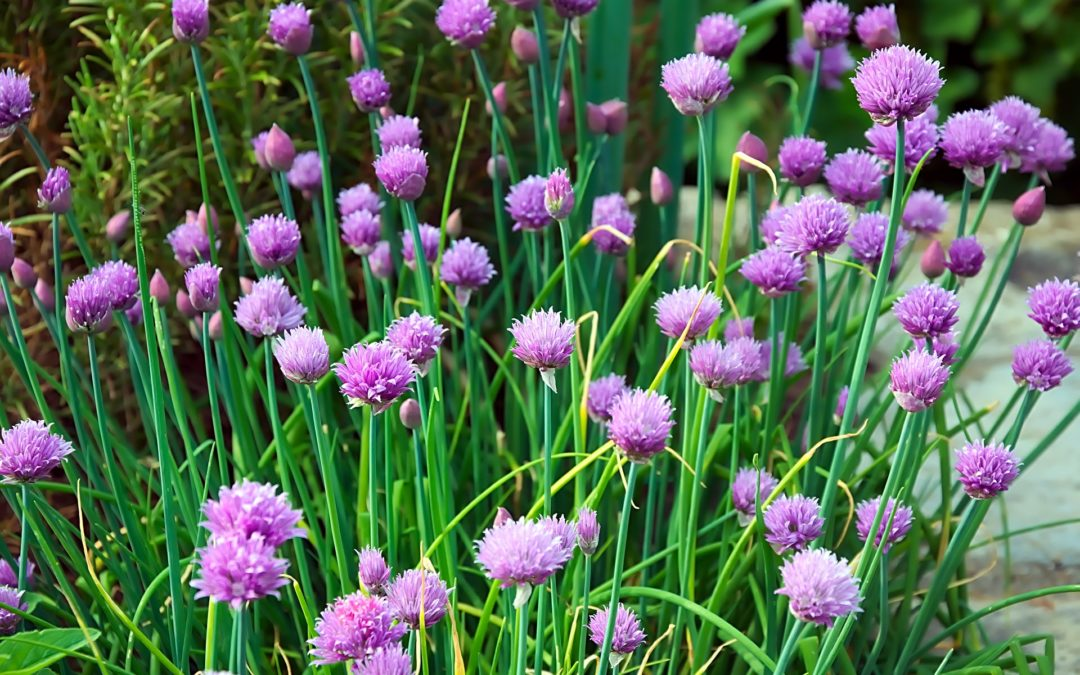Chives for how to grow and use chives