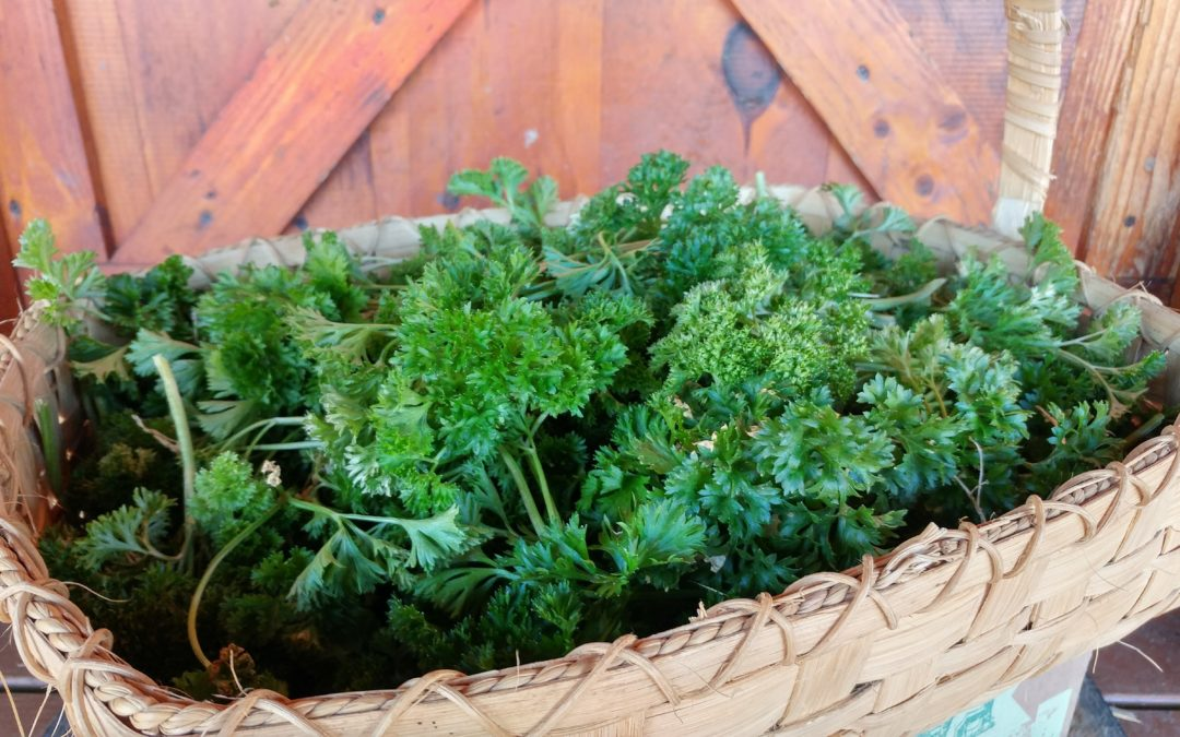 How to Grow Parsley: Tips & Tricks